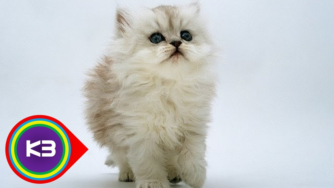 10 Most Popular Cat Breeds Around The World
