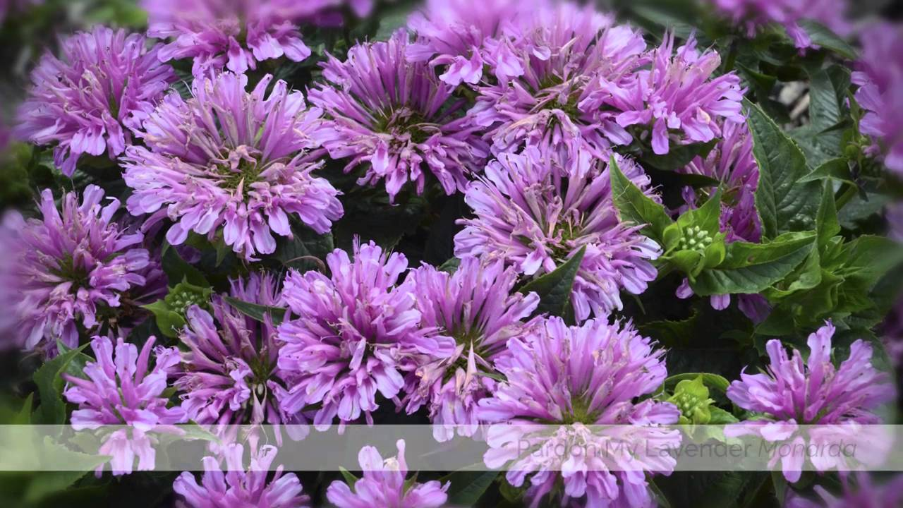 New Perennials From Proven Winners For 2016 Youtube