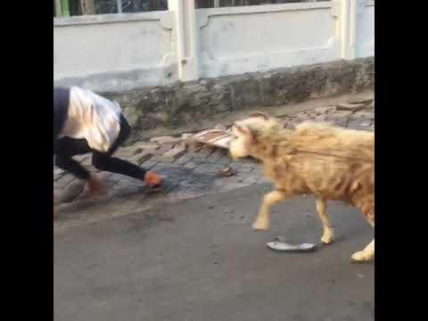 Video lucu manusia vs kambing,video gokil