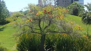 Эритрина - экзотическое дерево.