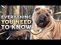 CHINESE SHAR PEI 101! Everything You Need To Know About Owning a Chinese Shar P…