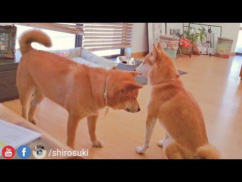 "a-doge-version-of-""lemme-smash""---shiro-is-#friendzoned"