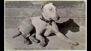 Bull terrier - история породы