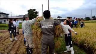 コープの田んぼで稲刈りと棒がけ体験! JA岩手ふるさとの皆さんと一緒に