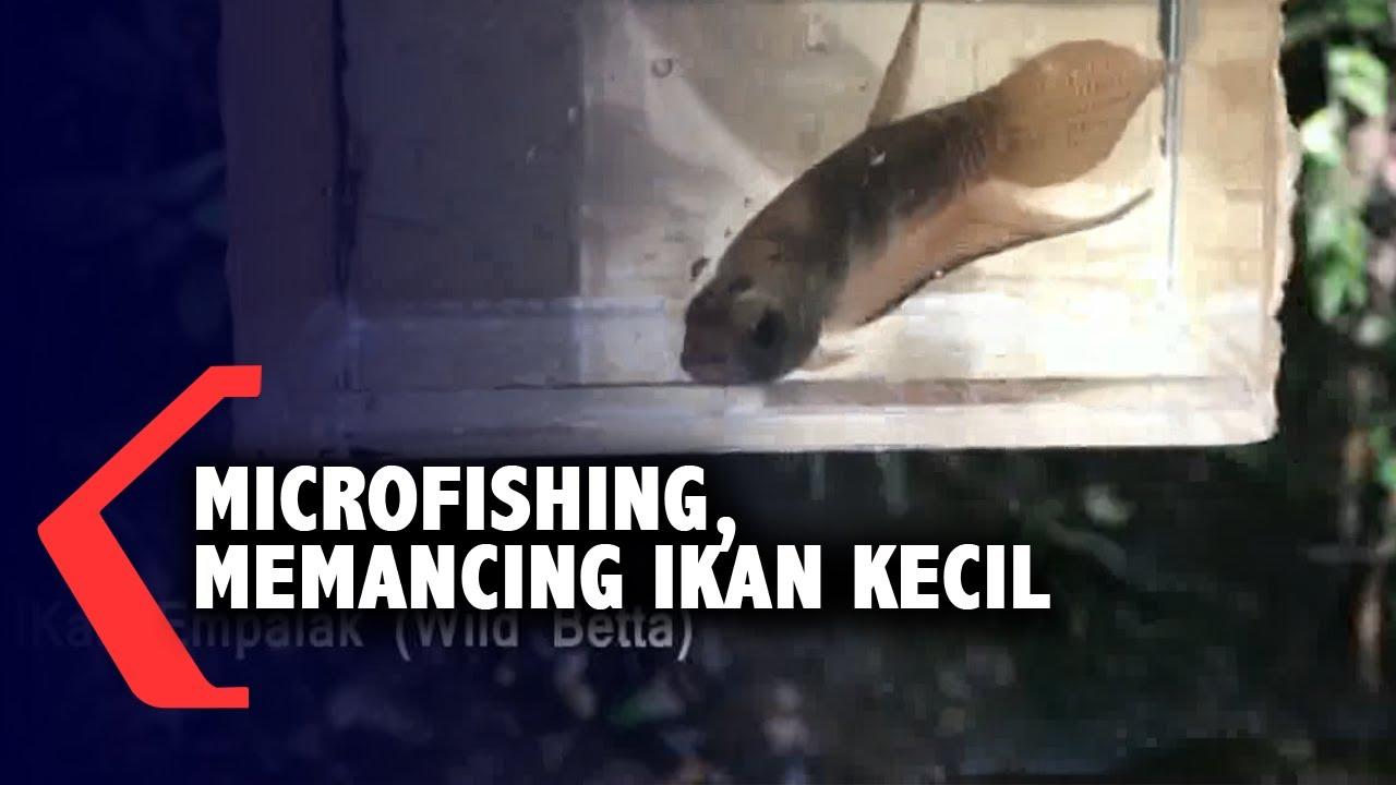Mengenal Microfishing Aktivitas Memancing Ikan Hias Kecil Youtube