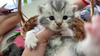 scottish fold kitten ลูกแมวลืมตาเริ่มเดินกันแล้ว😻😻