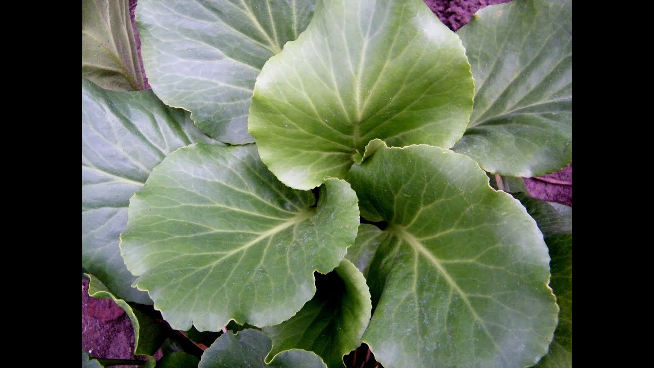 бадан фото цветок