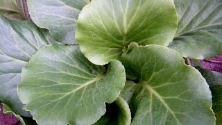 видео Растение бадан фото