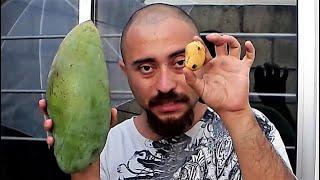 Comparando el mango mas grande vs el mango mas pequeño - Mango niño vs Mango papaya Manguifera