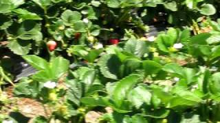 Picking Strawberries in Watsonville, California Jack D Deal videos