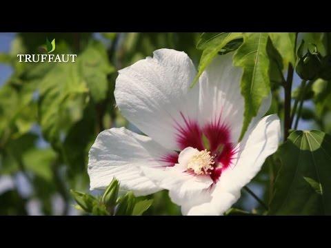 Comment tailler un hibiscus de jardin ? - Jardinerie Truffaut TV ...