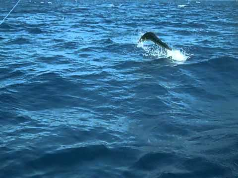 Joel lands leaping 55 pound Dorado-Punta Colorada, Mexico