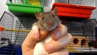 Ручная и очень добрая домашняя крыса. Fancy rat