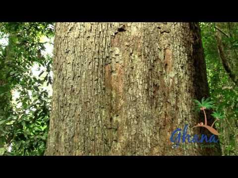 BIGGEST TREE IN GHANA