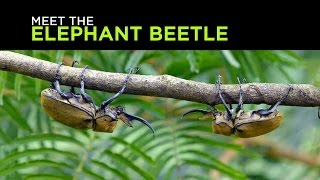 Meet the Elephant Beetle