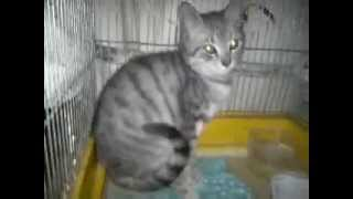 #котенок Леонардик, 2 мес, мальчик, чудесного вискасного окраса.  #ищетдом