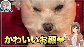 いい角度からとりましたー! かわいいのんちゃん #可愛い #犬 #マルチー...