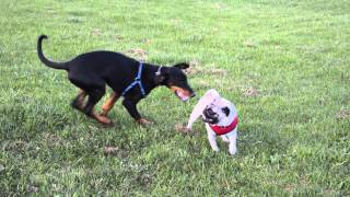 6 Month Old Doberman Puppy Playing With A 2 Year Old Pug