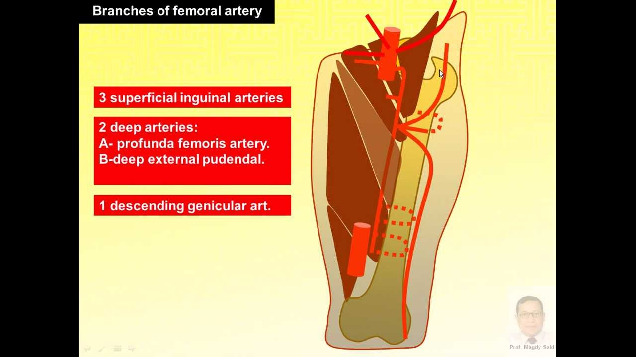 Magdy Said anatomy series,lower limb,front of thigh, femoral artery ...