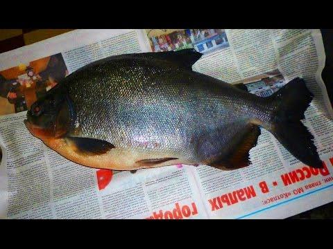 Огромные пираньи появились в реках под Архангельском
