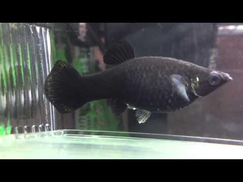 Black Molly Giving Birth HD
