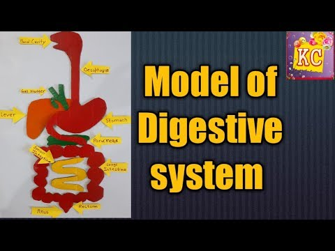 Model of digestive system for science exhibition/school project/Kansal creation