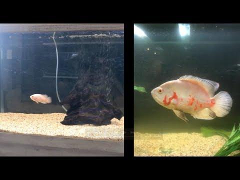 Oscar Fish 6 Months Growth *Albino*
