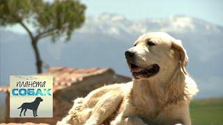 Испанский мастиф. Планета собак 🌏 Моя Планета