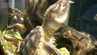 Snapping Turtle eats a Frog