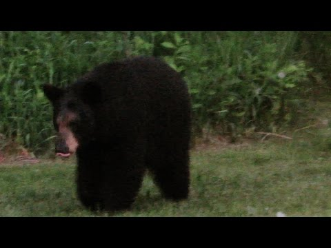 Black Bear Pounces and Snorts June 9th