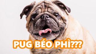 Chó Pug của bạn có béo phì hay gầy quá không?