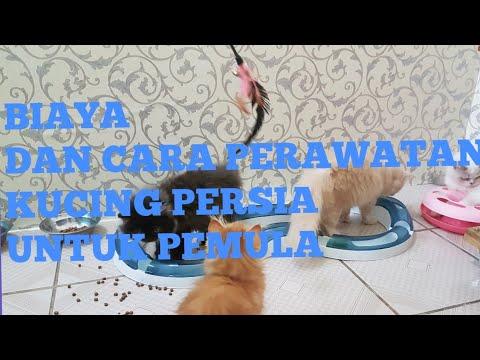 Video Cara Merawat Kucing Himalaya 4 Bulan