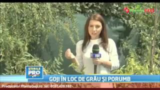 Afacere cu Fructele GOJI - Reportaj PRO TV