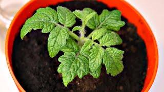 Хотите мощную кучерявую рассаду и супер урожай помидор? Делайте с семенами так! Секреты посева