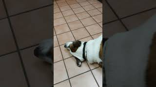 My funny dog has a tantrum at the vet because it was taking too long!