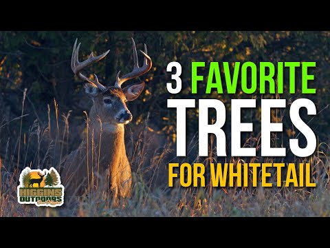 Chasing Giants with Don Higgins - 3 Favorite Trees for whitetail habitat