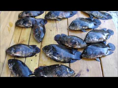 Non Native Oscar Fish Invasive Species - Easy To Catch In Florida