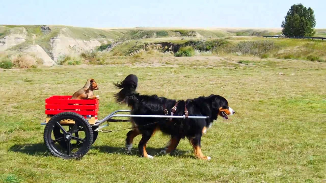 Bernese Mountain Dog Cart Goldenacresdogscom