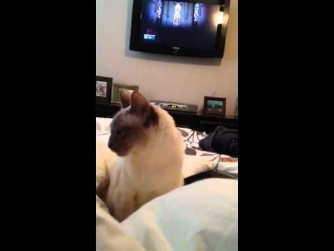 My Siamese cat talking.