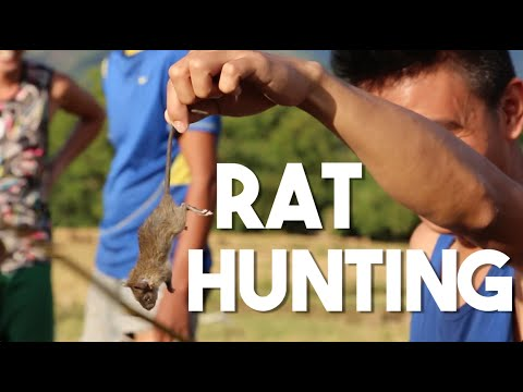 Rat Hunting in the Philippines (Food and Travel - Pangasinan)