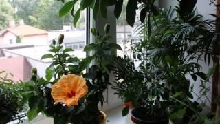 что цветет у меня дома в июле(о комнатных растениях в июле., 2015-07-25T12:11:28.000Z)
