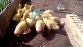 видео Домашняя утка: содержание, уход, фото