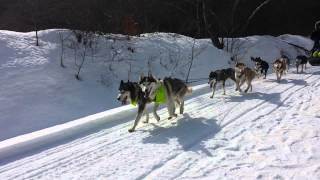 Sled dogs in NH 2014