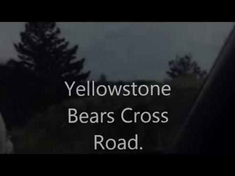Yellowstone Bears Cross Road