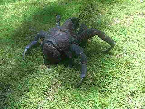 Tatos the Terror Coconut Crab