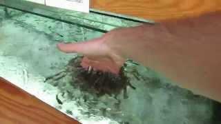 Рыботерапия - рыбный массаж. Сочи - парк Ривьера.  Рыба-доктор (Гарра-руфа)(, 2015-11-15T12:27:48.000Z)