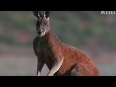 Survival in Australia for Kangaroos | BBC Wildlife | BBC Stu