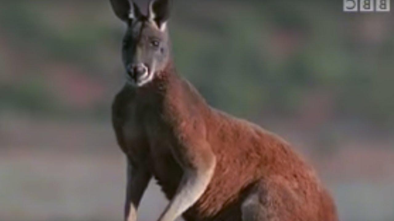 sale retailer c0a35 a067e Survival in Australia for Kangaroos | BBC Wildlife | BBC Studios