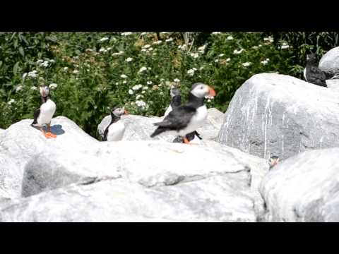 The Call of the Puffins