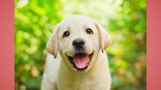 Labrador Retriever Puppy Training Tips